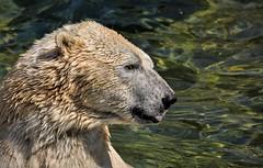 Eisbär....... (Fritz Zachow) Tags: erlebniszoo hannover niedersachsen deutschland eismeer bär eisbär säugetier raubtier