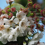 From flowers to cherries... thumbnail