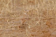 Dunn's Lark, Alouette de Dunn (Eremalauda dunni) - Réserve de Faune de Ouadi Rimé et Ouadi Achim (RFOROA), CHAD (brun@x - Africa: birds & more) Tags: 2018 bruno portier brunoportier tchad chad dunnslark alouettededunn eremalaudadunni dunns lark alouette dunn eremalauda dunni réserve faune ouadi rimé achim alaudidae oudi oudirimé ouadiachim rforoa ouadirimé