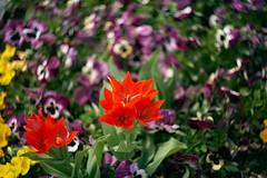 Tulips with Pansy-Swirls (Geoffrey'sCreations) Tags: swirlybokeh bokeh bokehmonster interestingbokeh switzerland flowers flower flowerbed flowerpot tulip tulips pansy pentax pentaxforums pentaxk1 pentaxian pentaxart