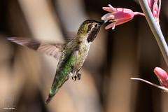 A drink of pink (Jasper's Human) Tags: annashummingbird bird inflight flower drink