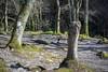 Stump (Howie Mudge LRPS BPE1*) Tags: landscape nature ngc nationalgeographic outside outdoors greatoutdoors light shade shadows trees stump grass moss rocks woods woodland forest dolgoch april spring 2018 gwynedd wales cymru uk sony sonya7ii sonyalphagang sonyilca77m2 minolta58mmf14 adaptedlens adaptedglass travel knot gnarly