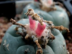 Lophophora fruits (Skolnik Collection) Tags: skolik collectio mexico cactus lophophora
