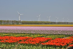 Colors in the Netherlands (wilma HW61) Tags: tulpen tulips tulipes tulipe tulipa tulpe tulip bollenvelden noordoostpolder flevoland kleuren colors lijnen windmolens tulpenveld tulipfields tulpenfelder champsdetulipes campiditulipani lines windmills moulinsàvent muliniavento windmühlen landschap landscape view scenery scenario natuur nature natur naturaleza nikond90 nederland niederlande netherlands holland holanda paysbas paesibassi paísesbajos europa europe voorjaar lente spring primavera printemps frühling outdoor wilmahw61 wilmawesterhoud flower fleur flor flora floral floreale