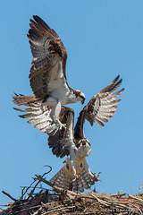 The interloper.. (Earl Reinink) Tags: osprey raptor bird animal fight flight sky earl reinink earlreinink nature photogrpahy zdeutuhdza