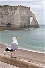 étretat (heavenuphere) Tags: étretat lehavre seinemaritime normandie normandy france europe landscape pebble beach chalk cliffs natural arch englishchannel english channel lamanche view sea water seagull gull bird 24105mm
