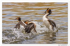 Combatifs ! (C. OTTIE et J-Y KERMORVANT) Tags: nature animaux oiseaux grèbes grèbeshuppés suisse