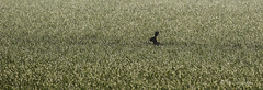 Hare amongst the grass (Blue Dog Images) Tags: hare dew canon norfolk ears