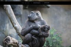 Mom and babe (Joseph@Oz) Tags: tarongazoo torangazoo sydney nikkor nikon zoo gorillababy gorilla