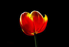 IMGP1147 Tulip (tsuping.liu) Tags: outdoor organicpatttern blackbackground bright blooming atmospher abigfave amazing closeup depthoffield depth ecology ecotour excellentflower flower feeling flowers field flickr flowersinwild golden garden grassland image imagination its itsallaboutflowers lighting skylight moment mood macro memory nature natureselegantshots naturesfinest natures nationalpark plant pattern passion petal painting photoboder purity photos park portraite portrature post plants red redblack texture trekking touching tulip theperfectphotographer ultralucent visioionoutdoor waterfront yellowflower zooming zoomin