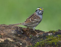 White-throated Sparrow (AllHarts) Tags: whitethroatedsparrow backyardbirds memphistn naturesspirit thesunshinegroup coth iwishidtakenthat coth5 naturescarousel ngc npc