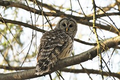Barred Owl ~ back for a closeup (karma (Karen)) Tags: baltimore maryland home trees birds barredowl dof bokeh topf25