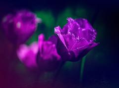 Tulip ... one more ... (Julie Greg) Tags: tulip nature colours canon5dmarkiv texture park england