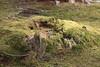 Moss and Stump / 苔(こけ)と切り株(きりかぶ) (TANAKA Juuyoh (田中十洋)) Tags: 緑 green moss stump 苔 こけ コケ 切り株 切株 きりかぶ 5d markii hi high res hires resolution 高精細 高画質 tochigi kanuma furuminejinja shrine kohohen 栃木 鹿沼 とちぎ かぬま 古峰ヶ原 古峯原 こぶがはら 古峯神社 ふるみねじんじゃ 古峯園 こほうえん