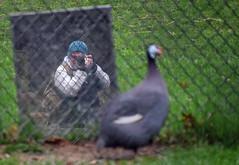 John and Guinea (MTSOfan) Tags: mirror fencing guineafowl selfie mtsofan john bundled lvz reflection camera