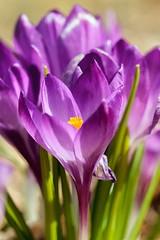 Purple (Karen_Chappell) Tags: flower floral nature macro park spring purple crocus canonef100mmf28usmmacro bowringpark stjohns newfoundland atlanticcanada avalonpeninsula green bokeh canada eastcoast