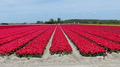 Foto Roel van Deursen Bollenpracht Goeree Overflakkee - Oude Tonge 2018-04-23 (19) (Roel van Deursen) Tags: tulpen vol bloei op goereeoverflakkee 2018
