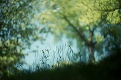 hello may (dapalmerpeter (slow & low)) Tags: dapalmerpeter spring may bokeh green grass woods summarit 5cm leitz