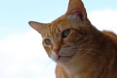 IMG_2648 Rubio, Mallorca (Fernando Sa Rapita) Tags: rubio sarapita mallorca baleares cat gato mascota pet canon eos6d sigma sigmalens coth coth5 canoneos
