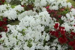 two colours (maco-nonch★R) Tags: japanischer japanesephotographer japon japan japonés japón shrine kioto kyoto jonangu azalea 城南宮 庭園 躑躅 つつじ ツツジ flowers 日本