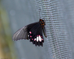 Butterfly hanging on the net (Darea62) Tags: butterfly insect animal nature wildlife wings net silver grey wiremesh tropical papiliomemnon papilio