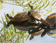 Catching Some Rays (jerrywb2010) Tags: lmc fauna turtles lakeshore losmedanoscollege pittsburg ca sfbayarea eastbay