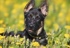 Tessie (Paula Darwinkel) Tags: puppy dog pet germanshepherd dandelions flowers animal wildlife nature portrait summer
