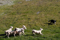 Sheep hearding exhibition (mirsasha) Tags: newzealand queenstown 2018 april walterpeak otago nz