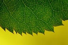 the green jagged edge (JossieK) Tags: backlight macromondays jagged edge leaf rose macro closeup veins green sigma105mm