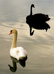 Yin and Yang (jetrotz) Tags: blackandwhite bird water silhouette contrast wow advertising geotagged swan screensaver ripple cab 10d coloradosprings doubleclick broadmoor 2470 featheryfriday clientadvisoryboard geo:lat=38790478 geo:lon=104852175