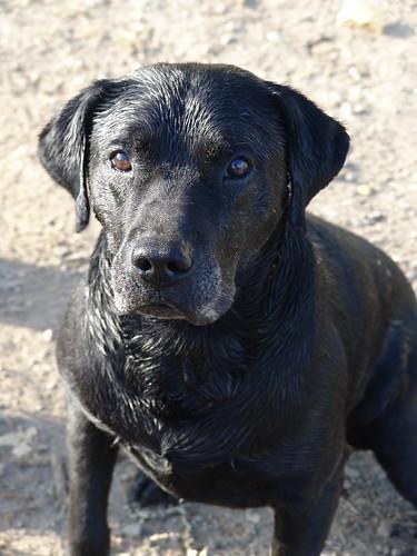 black Labrador Retriever - 'Willie'