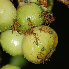 how to get rid of rasberry ants