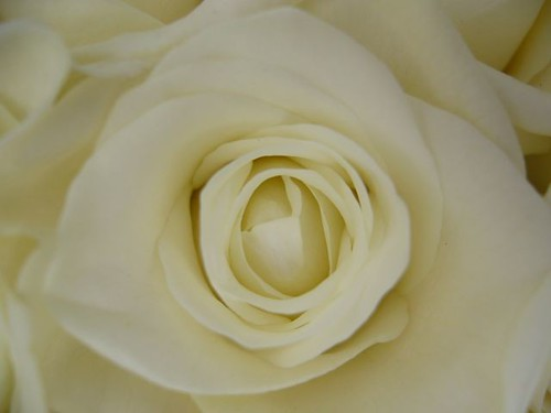White rose by Swamibu.
