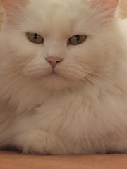Emilly (mauzlover) Tags: cat persian emily chat katze perser emilly cc100 kittyschoice mauzlover