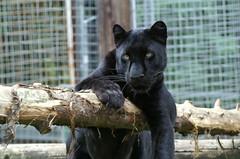 Black Panther (tim ellis) Tags: black animal cat leopard panther carnivore santago specanimal msh0907 msh09073