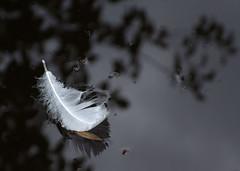 white feather too (EssjayNZ) Tags: newzealand 15fav white black reflection water tag3 taggedout 510fav reflections one tag2 tag1 feather floating 2006 essjaynz interestingness273 taken2006 i500 2pair sarahmacmillan