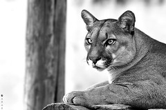 Puma B&W (Guilherme Labarrere) Tags: wild nature animal puma selvagem nautreza labarrere duetos