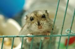 Oh~milk~ (EricFlickr) Tags: pet cute animal taiwan hamster hammie