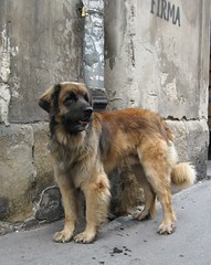 Big Dog (Su--May) Tags: street summer dog cute fur friend tail poland krakow 2006 friendly marketsquare bigdog hairtastic sumay