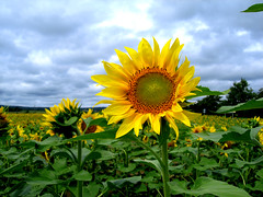Optimist sunflower (kenyai) Tags: field sunflowers sunflower girasole girasoli interestingness31 i500 napraforgo