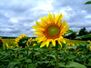 Optimist sunflower (kenyai) Tags: field sunflowers sunflower girasole girasoli interestingness31 i500 napraforgo