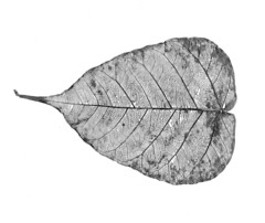 Skeleton of a small leaf : Worlds within (Junaid Rashid) (Engineer J) Tags: wood pakistan bw detail tree texture dead skeleton grey leaf flora all furniture decay dry junaid scan m explore ficus veins lahore sama comments clack rashid scanography satta uet bahawalpur peepal engr utatafeature juanid gettysales getty:collection=f getty:id=111740393 getty:license=rf ppal12
