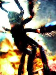 tarantula - by Barabeke