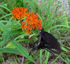 Butterflyweed (coveman) Tags: flower butterfly coveman butterflyweed