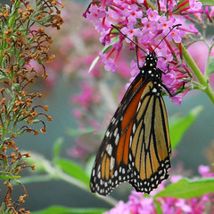 Hanging Out on Pink (ozoni11) Tags: pink flowers orange brown white black flower green nature butterfly insect wings bokeh wing butterflies insects bokehsoniceaugust bokehsoniceaugust23