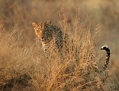 _MG_3038 (..jmd..) Tags: wild wildlife adventure safari leopard wilderness namibia triplea specanimal