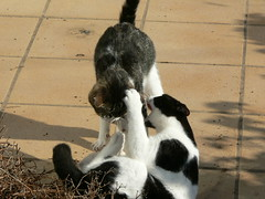 cats fight kitten bio gatos gatitos pelea peque lorojaguar