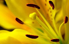 Yellow (m4r00n3d) Tags: flower macro topf25 yellow fauna flora nikon edinburgh nikond50 lilly sigma105mm