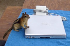 Chipmunk Checking Email