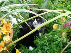Thomas (psiclick) Tags: blackandwhite cat garden kitten tuxedo pussycat
